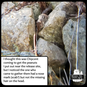 chipmunk in rocks