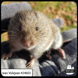close up of a meadow vole Jean Volejean