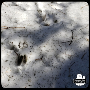 wildlife tracks in snow