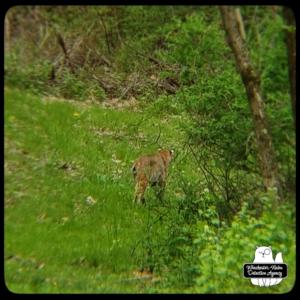 bobcat in yard