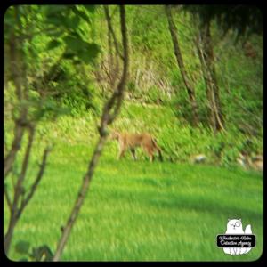 blurry bobcat in yard