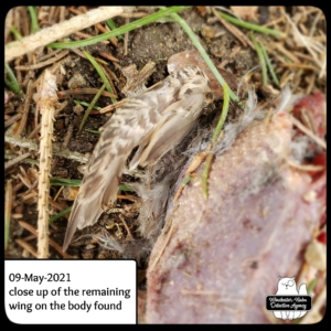 dead headless bird corpse wing
