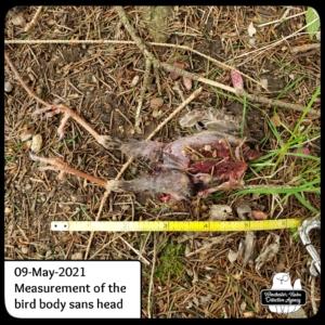 dead headless bird corpse