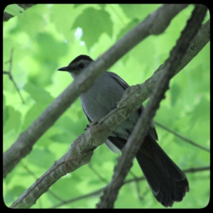 catbird in tree