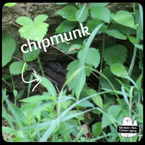 chipmunk Chipcent Donofrio