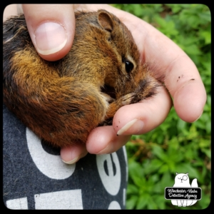 chipmunk rescue