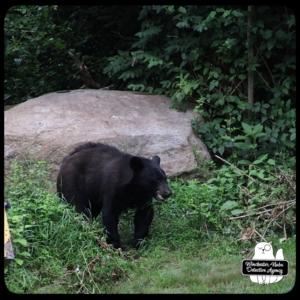 bear volkolak cub