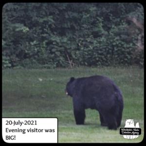 big papa bear volkolak