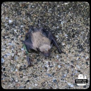 big brown bat on cement floor