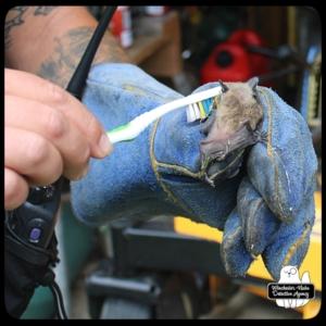 ACO cleaning big brown bat