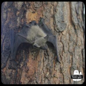 big brown bat climbing tree