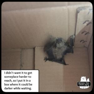 big brown bat in box