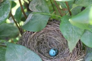 bird nest egg robin