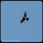 Cooper's hawk flying